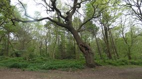 Oak Tree hiding in Havering Country Park stock photography