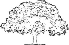 Oak Tree Pencil Sketch /eps Royalty Free Stock Image