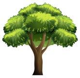 Oak tree Royalty Free Stock Images
