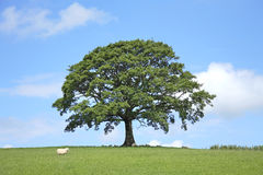 Free Oak Tree In Spring Royalty Free Stock Images - 6989259