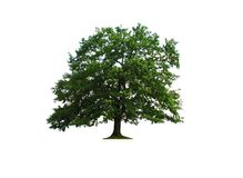 Oak tree isolated Royalty Free Stock Images
