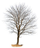 Oak tree isolated on white Royalty Free Stock Photography