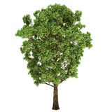 Oak Tree Isolated Royalty Free Stock Photos