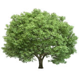 Oak Tree Isolated Royalty Free Stock Image