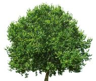 Oak tree isolated on white background royalty free stock photo