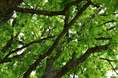 The oak tree royalty free stock photography