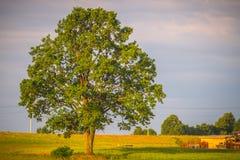 Oak tree landscape Stock Photos