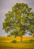 Oak tree landscape Royalty Free Stock Images