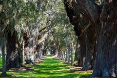Oak Tree Lane of Grass Royalty Free Stock Image