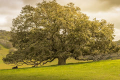 Oak Tree. Large oak tree on pastured hills with cows and clouds stock images