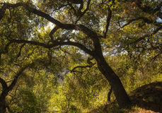 Oak Tree. A large oak tree in the Santa Monica Mountains of California, lit by the late afternoon sun Royalty Free Stock Photo