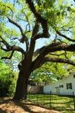 Oak Tree. A large oak tree with spanish moss and tangled branches near a Louisiana plantation stock photo
