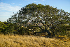 Oak tree in late summer. A lone oak tree in late summer. Surrounded by golden grasses and blue sky. Located in Sonoma County, California royalty free stock photos