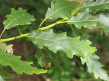 Oak tree leaf Stock Photography