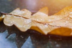 Oak tree leaf lay on wet asphalt. Autumn concept background in macro Stock Images