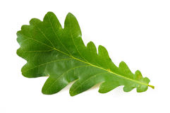 Oak Tree Leaf stock images