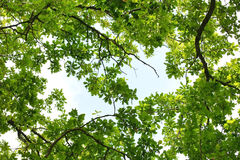 Oak tree leafage. Worm's-eye view Stock Photos