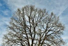 Oak tree. Leafless Oak tree in winter with blue sky Stock Photos