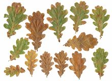 Oak tree leafs Royalty Free Stock Image
