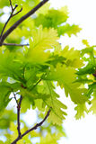 Oak tree leaves Stock Photo