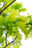 Oak tree leaves. The oak tree leaves on sky backgrouond Stock Photo