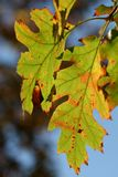 Oak tree leaves Royalty Free Stock Photos