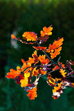 Oak tree leaves in autumn Stock Photo