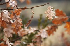 Oak tree leaves in autumn with water drops royalty free stock photo