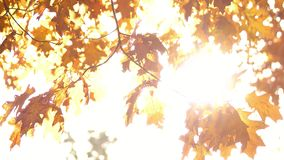Oak tree leaves in autumn. White bright background stock footage