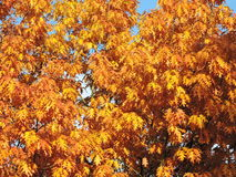 Oak tree leaves in autumn Royalty Free Stock Images