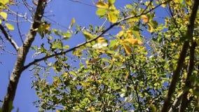 Oak tree leaves blowing in breeze. Oak tree leaves blowing in a breeze with a blue sky in the background stock video footage