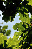 Oak tree leaves and branches Royalty Free Stock Photos