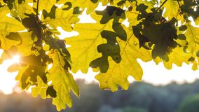 Oak tree leaves close up. Sun light rays shining through the foliage. pen moving.  stock video footage