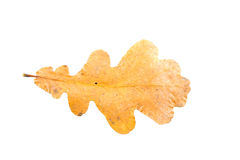 Oak tree leaves in different states of withering isolated on whi Stock Images