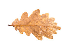 Oak tree leaves in different states of withering isolated on whi Stock Image