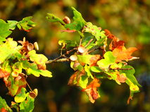 Oak tree leaves with empty acorns Royalty Free Stock Photos