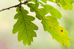 Oak tree leaves Stock Images