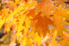 Oak tree leaves at fall Royalty Free Stock Photos