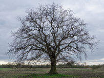 An oak tree without leaves on a field Royalty Free Stock Photos