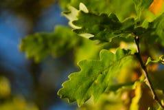 Oak tree leaves Royalty Free Stock Image