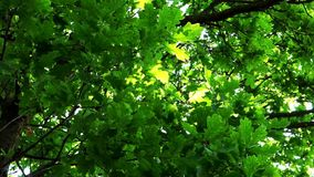 Oak tree leaves stock video footage
