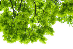 Oak tree leaves isolated Stock Image