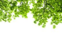 Oak tree leaves isolated Stock Image
