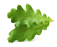 Oak tree leaves isolated Stock Images