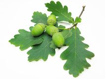 Oak tree leaves and nuts Royalty Free Stock Images