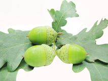 Oak tree leaves and nuts Royalty Free Stock Image