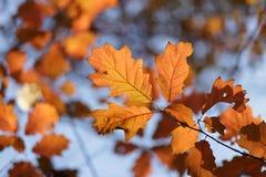 Oak tree leaves Royalty Free Stock Photography