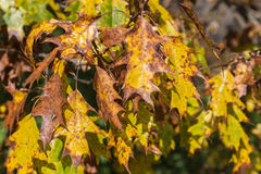 Oak Tree Leaves Turning Color Stock Photo