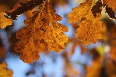 Oak-tree leaves. Yellow leaves on the oak-tree Stock Images
