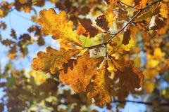 Oak-tree leaves. Yellow leaves on the oak-tree Royalty Free Stock Photo